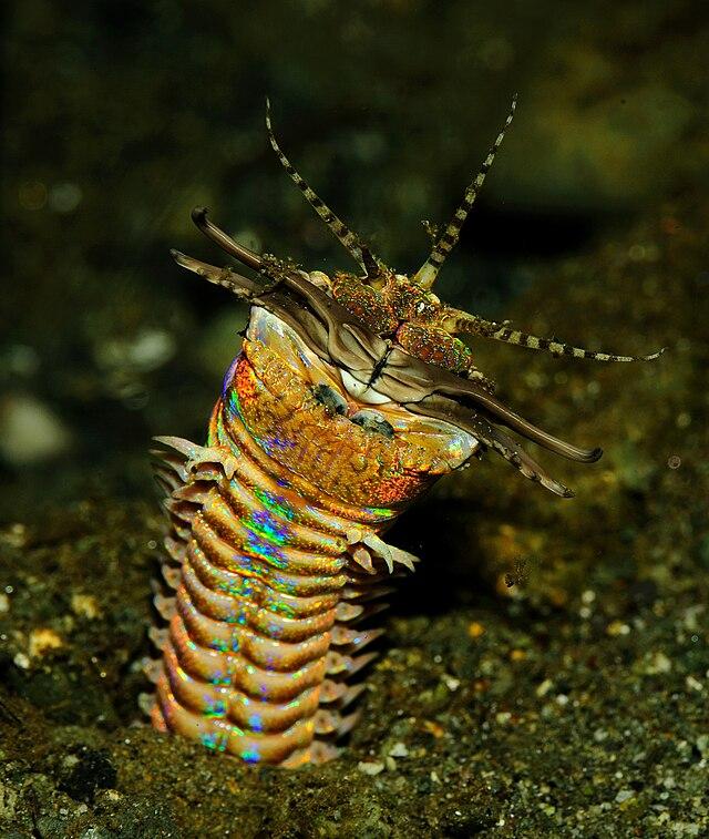 Австралийский пурпурный червь