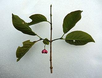 Euonymus hamiltonianus - Image: Euonymus hamiltonianus Japan