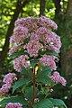 Eupatorium dubium 'Little Joe' Flowers.jpg