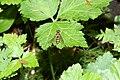 Eupeodes lapponica 6583.JPG