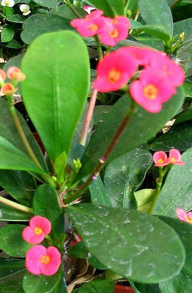 File:Euphorbia 1.jpg