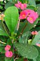 Euphorbia 1.jpg