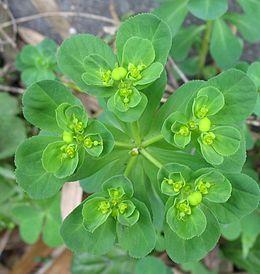 Euphorbia helioscopia2