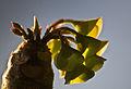 Euphorbia millotii flower.jpg