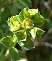 Euphorbia schizoloba 5.jpg