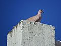 Eurasian Collared-Dove (12598554973).jpg