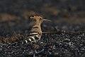Eurasian Hoopoe best by Vedant Kasambe DSC 7024 01.jpg