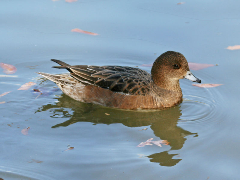 http://upload.wikimedia.org/wikipedia/commons/thumb/d/d6/Eurasian_Wigeon_%28Anas_penelope%29_RWD2.jpg/799px-Eurasian_Wigeon_%28Anas_penelope%29_RWD2.jpg