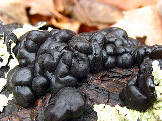 <i>Exidia glandulosa</i> species of fungus