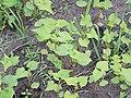 Fagopyrum esculentum seed shedding, boekweit zaaduitval (1).jpg