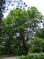 Fagus orientalis-dkrb(1).jpg