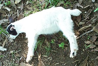 """Fainting goat - A young fainting goat in the midst of a myotonic """"fainting"""" spell"""