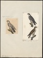 Falco peregrinus - 1700-1880 - Print - Iconographia Zoologica - Special Collections University of Amsterdam - UBA01 IZ18200118.tif