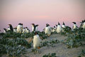 Falkland Islands Penguins 50.jpg