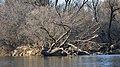Fallen Tree in the Grand River - Kitchener, Ontario.jpg