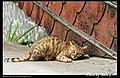 Felis silvestris catus (4981670616).jpg