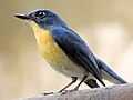 Female Tickell's blue flycatcher (Cyornis tickelliae) Photograph By Shantanu Kuveskar.jpg