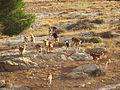 Feral dogs in palestine.JPG