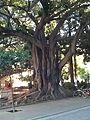 Ficus Museo.jpg