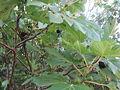 Ficus carica - fica fiurunaghja.JPG