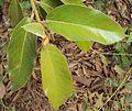Ficus drupacea 02.JPG