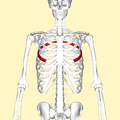 Fifth rib frontal2.png