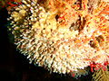 Filigreed coral worms at Partridge Point P7190553.JPG