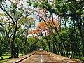 Fire trees of U.P. Diliman, Quezon City.jpg