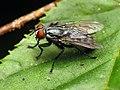 Flesh Fly (28909142802).jpg