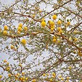 Fleurs d'Acacia Sénégal (Senegalia senegal).jpg