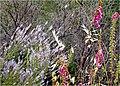 Fleurs de la serra de Estrela (529551738).jpg