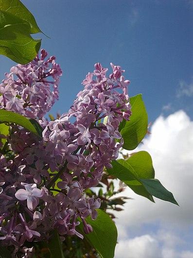 Fleurs de lilas mauve à Grez-Doiceau 004.jpg