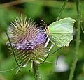 Flickr - Duncan~ - Brimstone Butterfly.jpg