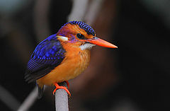 Flickr - Rainbirder - African pygmy-kingfisher (Ceyx pictus).jpg