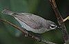 Flickr - Rainbirder - Mouse-brown Sunbird (Anthreptes gabonicus) (1)