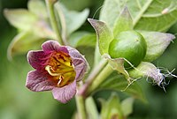 Flickr - don macauley - Deadly Nightshade.jpg