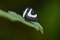 Flickr - ggallice - Portuguese helmet treehopper.jpg