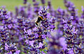 Flickr - ronsaunders47 - BEE IN THE LAVENDER.jpg