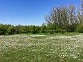 Floodplain with common daisies.jpg