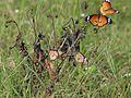 Flora and Fauna Savandurga Karnataka (26).jpg