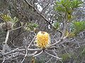 Flora of the Labillardiere Peninsula (9), Bruny Island.jpg