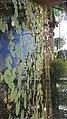 Flores de loto en el estanco.jpg
