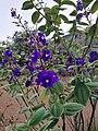 Flors del jardí del museu de Leimebamba.jpg