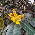 Flower of Ochna serrulata.jpg