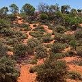 Flowering desert.jpg