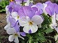 Flowers - (PL) Bratek (17154341826).jpg