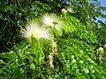 Flowers of Cuba 06.JPG
