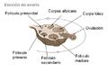 Foliculos ovaricos miguelferig.PNG