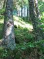 Forêt sur la pente de l'ancien cratère du lac Pavin.jpg