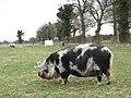 Foraging pig in pasture - geograph.org.uk - 740604.jpg